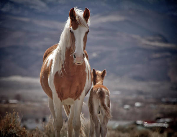Photograph - Wild Paint Mare And Colt by Waterdancer