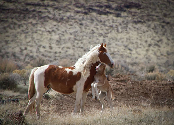 Photograph - Wild Paint Mare And Her Foal by Waterdancer