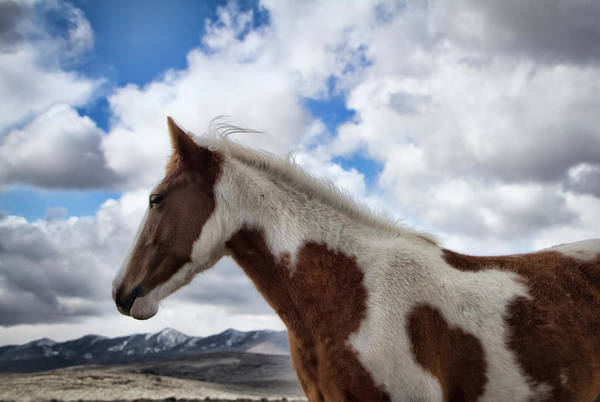 Photograph - Wild Paint Mare In Nevada by Waterdancer