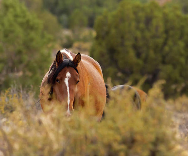 Photograph - Wild Paint Mustang Mare In The Weeds by Waterdancer
