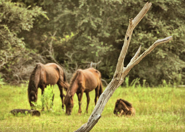 Photograph - Wild Ponies In Corolla by JAMART Photography