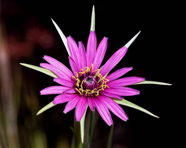Photograph - Wild Quinine - Salsify by KJ Swan