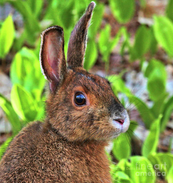 Photograph - Wild Rabbit by Debbie Stahre