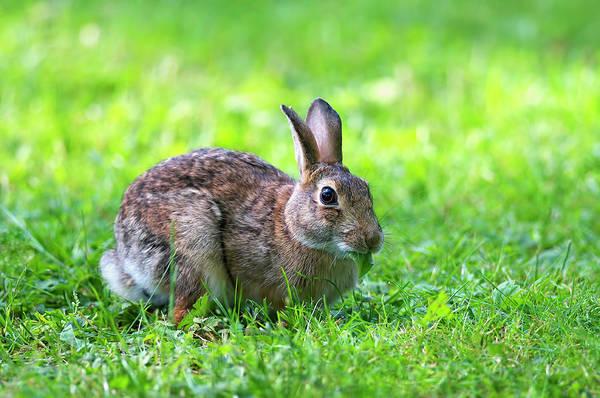 Photograph - Wild Rabbit by Sharon Talson