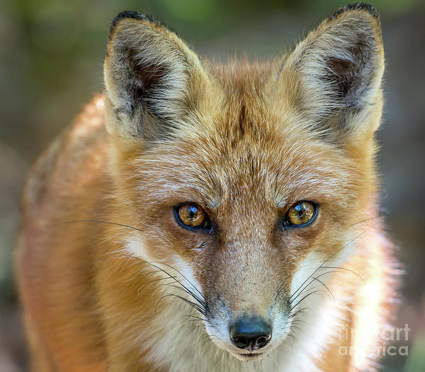 Photograph - Wild Red Fox Close Up Facial Portrait by Patrick Wolf