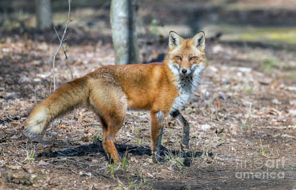 Photograph - Wild Red Fox In A Maryland Forest Standing In The Sunlight by Patrick Wolf