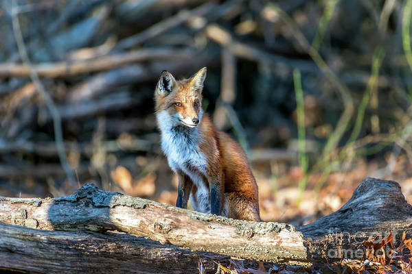 Photograph - Wild Red Fox Sitting In A Forest by Patrick Wolf