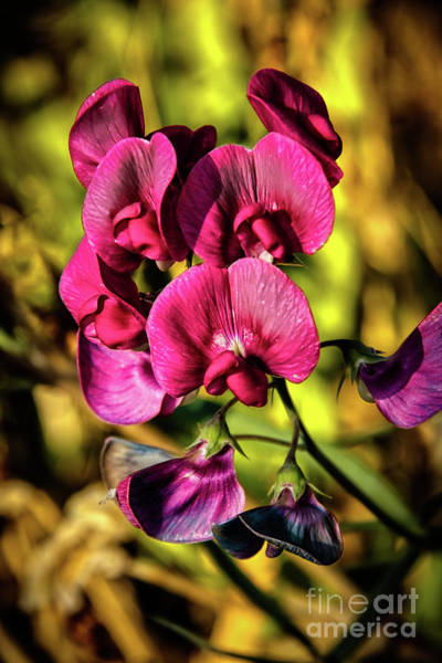 Wall Art - Photograph - Wild Red Sweet Pea by Robert Bales
