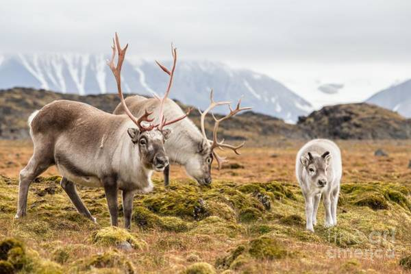 Reindeer Wall Art - Photograph - Wild Reindeer Family - Spitsbergen by Incredible Arctic