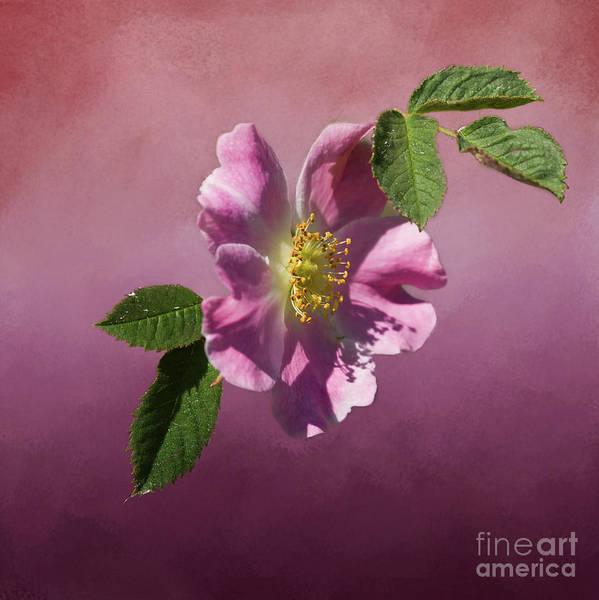 Digital Art - Wild Rose by Liz Alderdice
