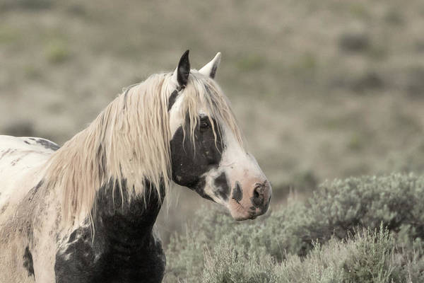 Photograph -  Wild Stallionthor by Ronnie and Frances Howard