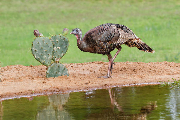 Wall Art - Photograph - Wild Turkeyfemale Feeding And Drinking by Larry Ditto