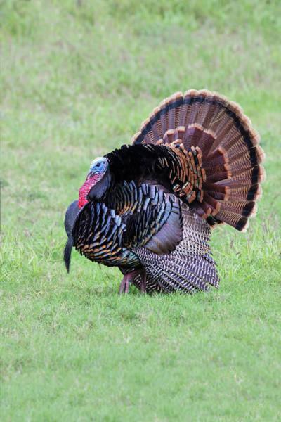 Meleagris Gallopavo Photograph - Wild Turkeymale Strutting Behavior by Larry Ditto
