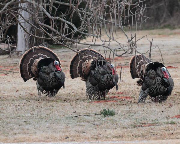 Photograph - Wild Turkeys 5916 by John Moyer