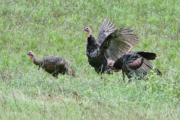 Wall Art - Photograph - Wild Turkeys 7731 by Michael Peychich