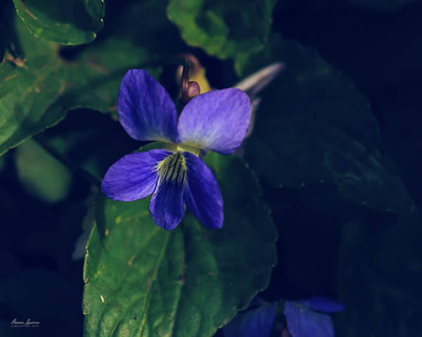 Photograph - Wild Violets by Anna Louise