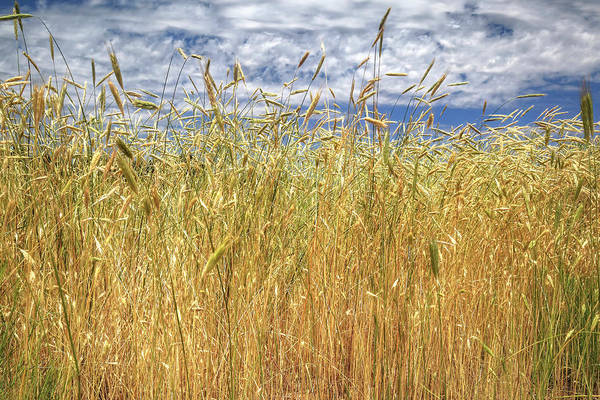 Photograph - Wild Wheat Grass by Donna Kennedy