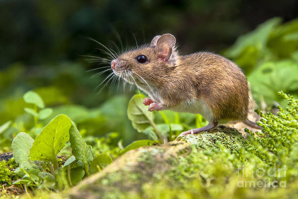 Alert Wall Art - Photograph - Wild Wood Mouse Resting On The Root Of by Rudmer Zwerver