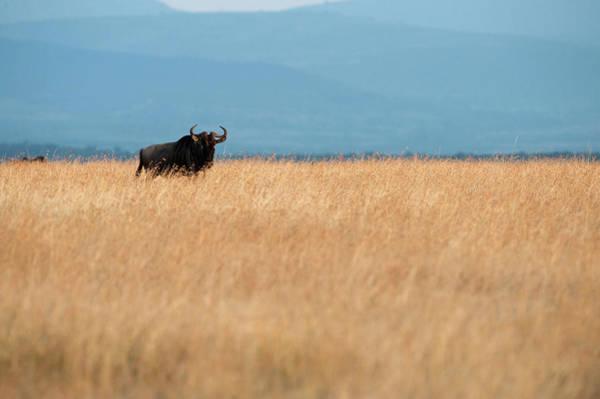 Savannah Photograph - Wildebeest Among Savannah Grass by Christopher Scott