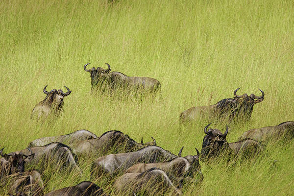 Photograph - Wildebeest In Tall Grass by Mary Lee Dereske