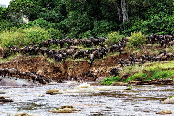 Photograph - Wildebeest Into The River by Kay Brewer