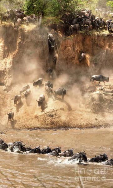 Wall Art - Photograph - Wildebeest Jump From The Banks Of The Mara  by Jane Rix
