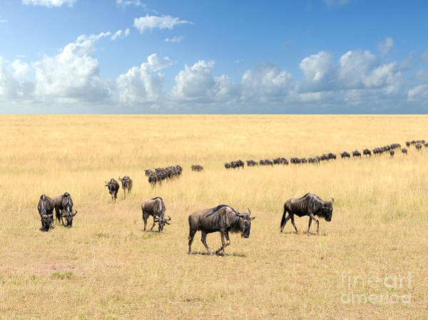 Reserve Wall Art - Photograph - Wildebeest, National Park Of Kenya by Volodymyr Burdiak