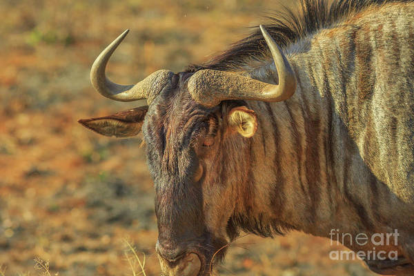 Photograph - Wildebeest Portrait Kruger by Benny Marty