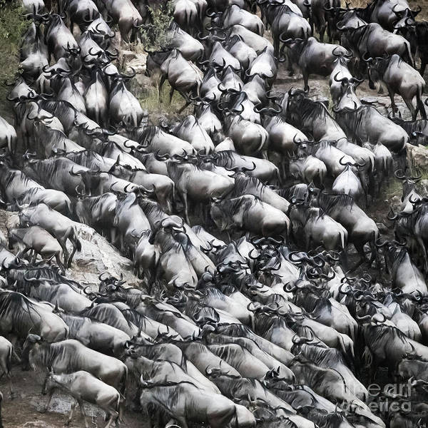 Wall Art - Photograph - Wildebeest Scramble Out Of The Mara River by Jane Rix