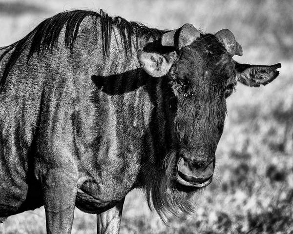 Wall Art - Photograph - Wildebeest - This Is My Good Side by Stephen Stookey