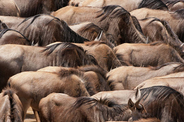 Back In The Day Photograph - Wildebeests, Kenya by Mint Images/ Art Wolfe