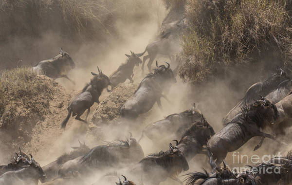Big Cat Wall Art - Photograph - Wildebeests Mara Crossing by Alexey Osokin