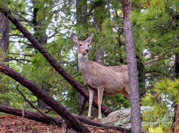 Photograph - Wilderness Mule Deer Portrait by Steve Krull