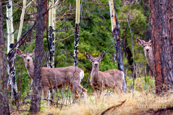 Photograph - Wilderness Mule Deer by Steve Krull