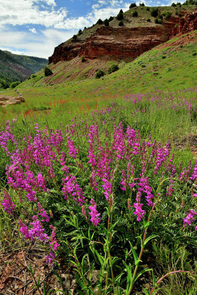 Photograph - Wildflower Bloom Along Highway 145 In Colorado by Ray Mathis