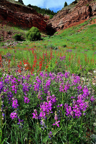 Photograph - Wildflower Bloom West Of Telluride Colorado by Ray Mathis