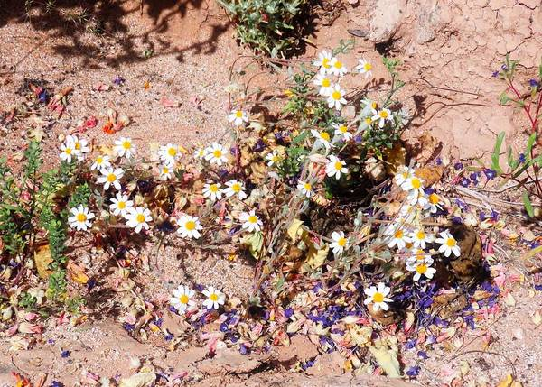 Photograph - Wildflower Cycles In The Sonoran Desert Spring by Judy Kennedy