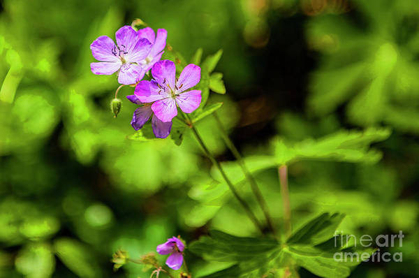Wall Art - Photograph - Wildflower In Shenandoah National Park 4820ct by Doug Berry