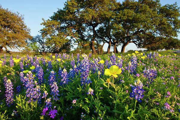 Coast Live Oak Photograph - Wildflowers And Live Oak, Mason County by Danita Delimont