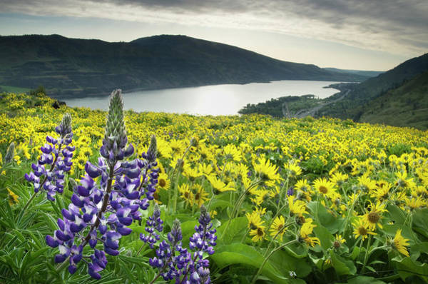 Outdoors Photograph - Wildflowers Columbia River Gorge Oregon by Alan Majchrowicz