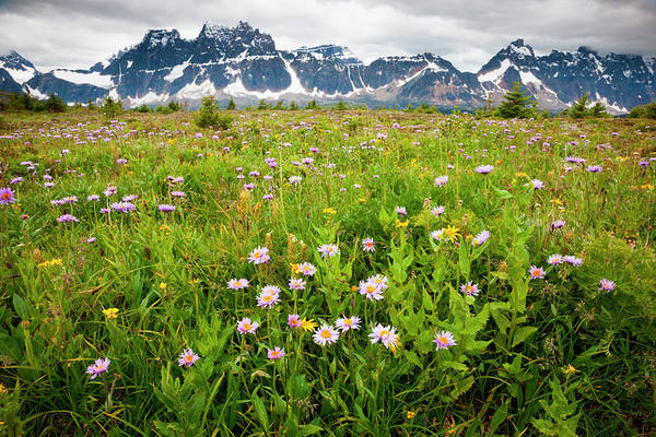 Art In Canada Photograph - Wildflowers, Jasper National Park by Mint Images/ Art Wolfe