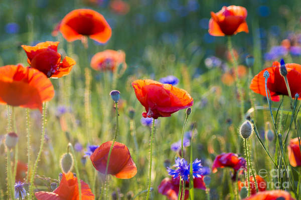 Beauty Of Nature Wall Art - Photograph - Wildflowers Poppies by Mike Mareen