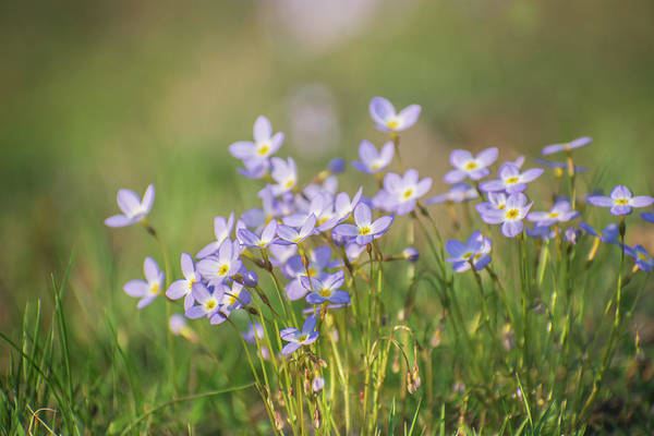 Photograph - Wildflowers Thyme Leaf Bluets by Rima Biswas