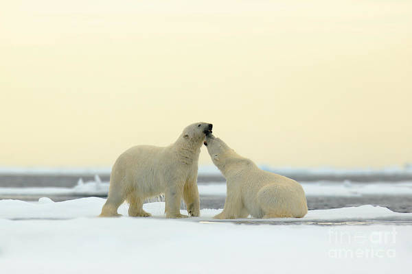 Two Friends Wall Art - Photograph - Wildlife Scene From The Arctic. Couple by Ondrej Prosicky