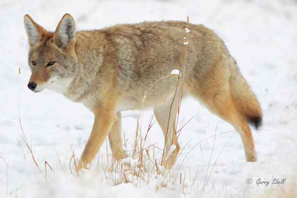 Photograph - Wiley E. Coyote by Gerry Sibell