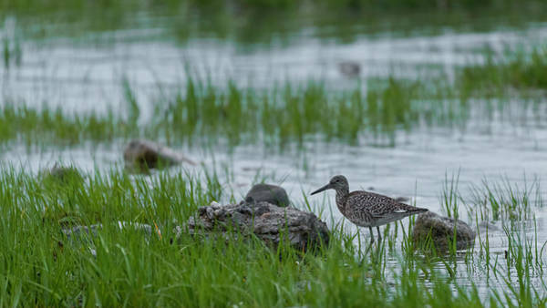 Photograph - Willet And Rocks by Simmie Reagor