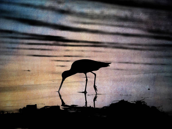 Photograph - Willet At Sunset by John Rodrigues