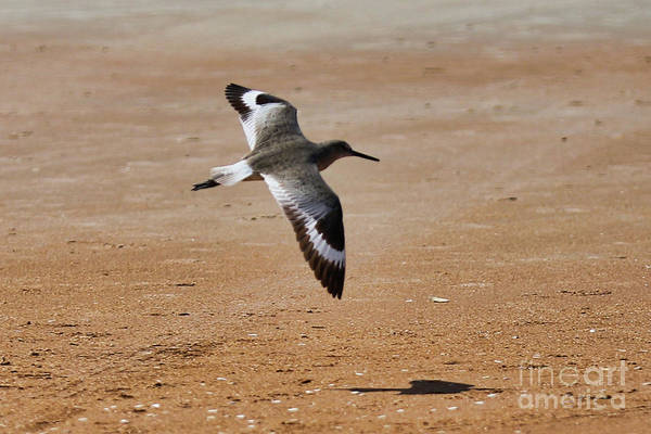 Wall Art - Photograph - Willet In Flight by Kelly Pennington