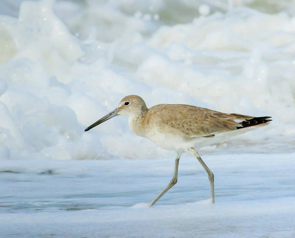 Wall Art - Photograph - Willet, Sanibel Island, Florida by William Sutton