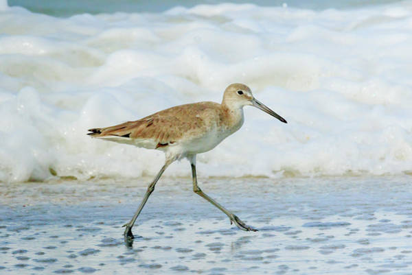 Ding Photograph - Willet by William Sutton
